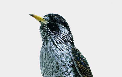 Common Starling Series